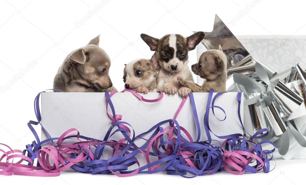 Group of Chihuahua puppies in a present box with streamers, isol
