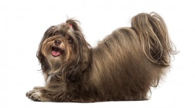 Side view of a Maltese bowing, panting, looking at the camera, i