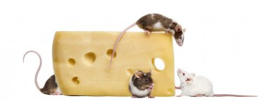 mouse perched on top of a big piece of cheese, looking down, Mus