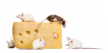 mouse on top of a big piece of cheese, looking down at a group o
