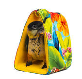 Young Black-capped Parrot (10 weeks old) standing in a bag, isol