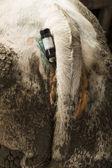 belgické modré krávě s teploměrem v její pochvě