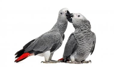 Two African Grey Parrots (3 months old) pecking,  isolated on wh