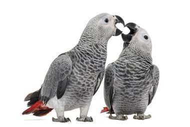 Two African Grey Parrot (3 months old) pecking,  isolated on whi