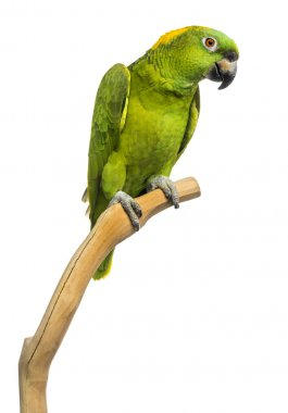 Yellow-naped parrot (6 years old) perched on a branch, isolated