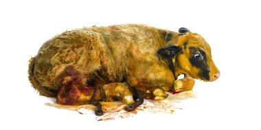 Belgian blue calf (3 minutes old) just born