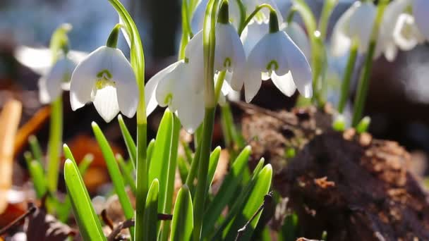 The first snowdrops in a forest