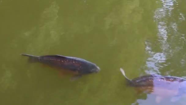 plavání ryb v jezírku