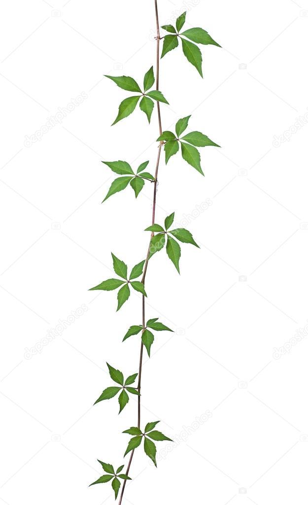 Wild vine against a white background stock photo zerbor 13848654 wild vine against a white background stock photo mightylinksfo