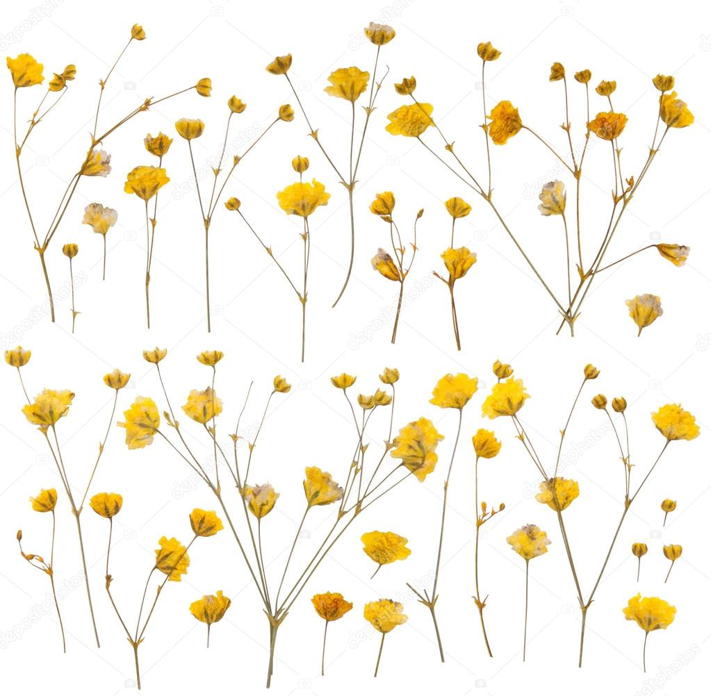 Pressed yellow wildflowers isolated on white stock photo photkas pressed yellow wildflowers isolated on white stock photo mightylinksfo