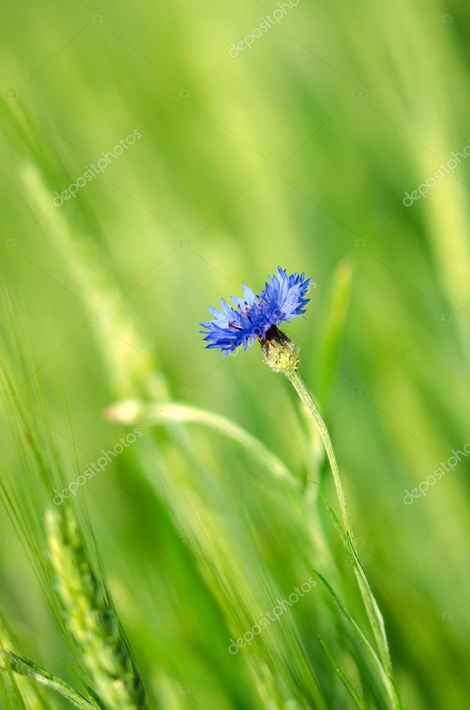 Bluebottle in a wheat field