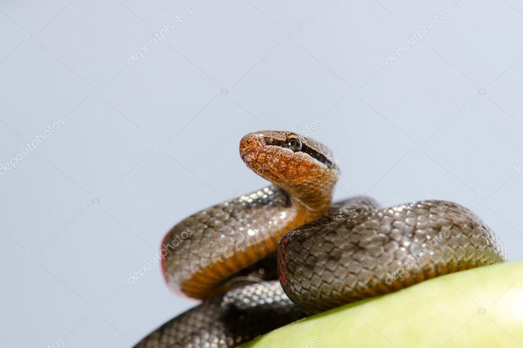 A snake coiled on an apple