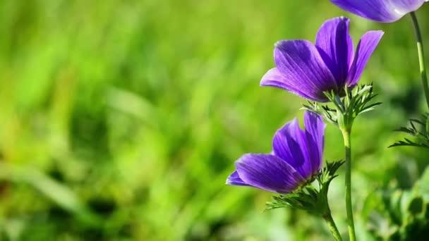 dva fialové květy ve větru