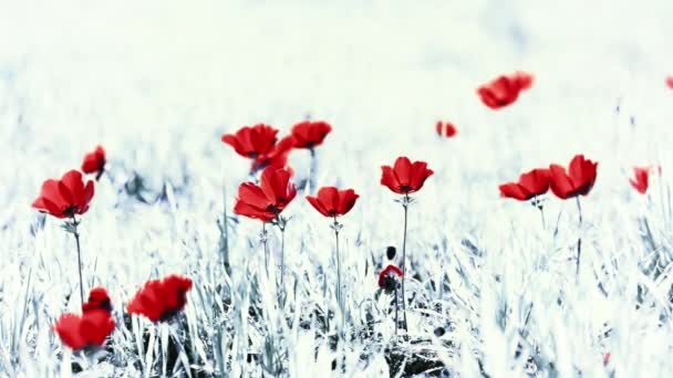 Red Flowers On A Black And White Background Stock Video