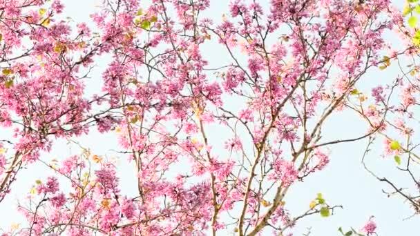 růžové květy na světle modrém pozadí