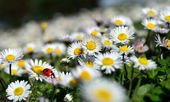 Fotografie Ladybug on daisy flower
