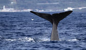 Fotografie Whale watching Azores islands 02
