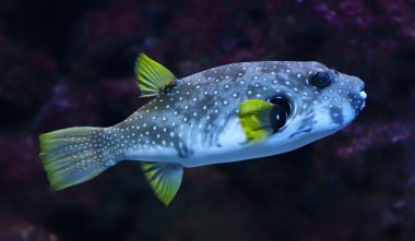 Close-up view of a White-spotted puffer