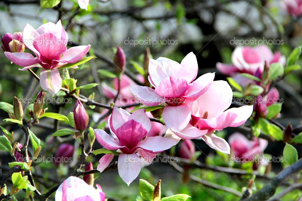 Для вдохновения Depositphotos_28146503-stock-photo-magnolia-spring-trees-in-bloom