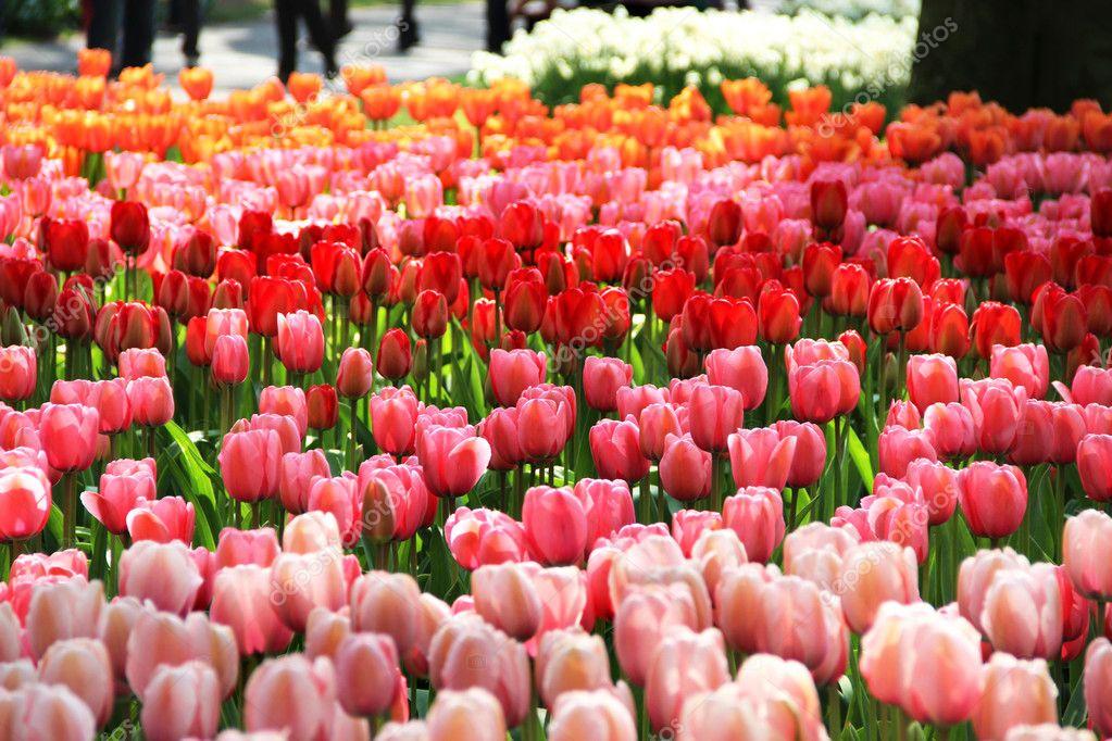 Holland beautiful vivid tulip fields