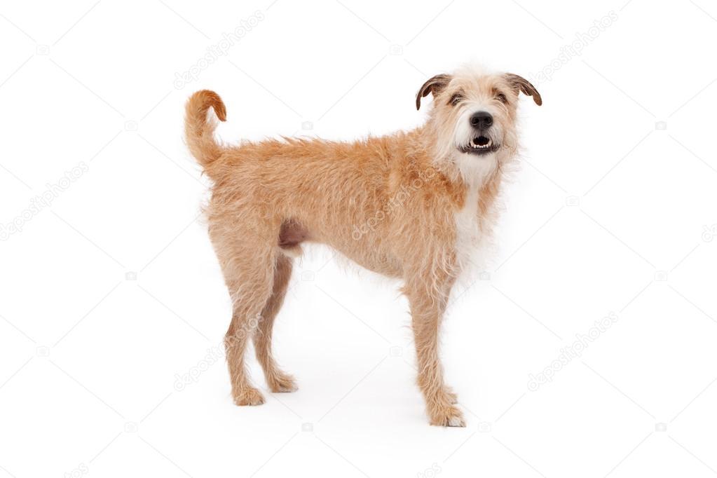Mischling struppigen Hund stehend — Stockfoto © adogslifephoto #24994757