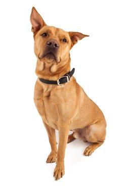 Beautiful Large Crossbreed Dog