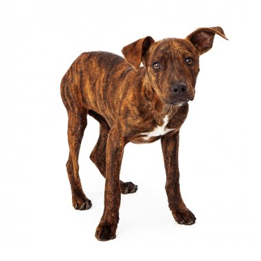 Brindle mixed breed puppy standing
