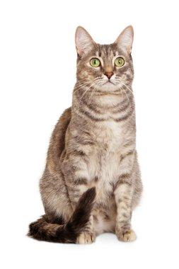 Sitting gray tabby cat