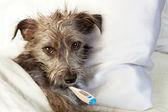 nemocný pes v posteli s teploměrem