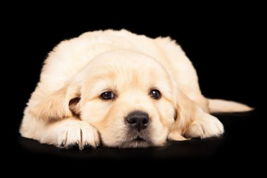 Golden Puppy Laying Looking Forward