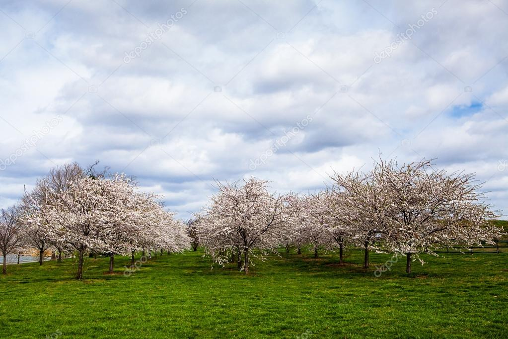 White Cherry Blossom Field in Maryland