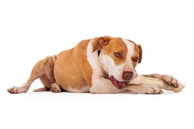 Pit Bull Dog Chewing on Bone