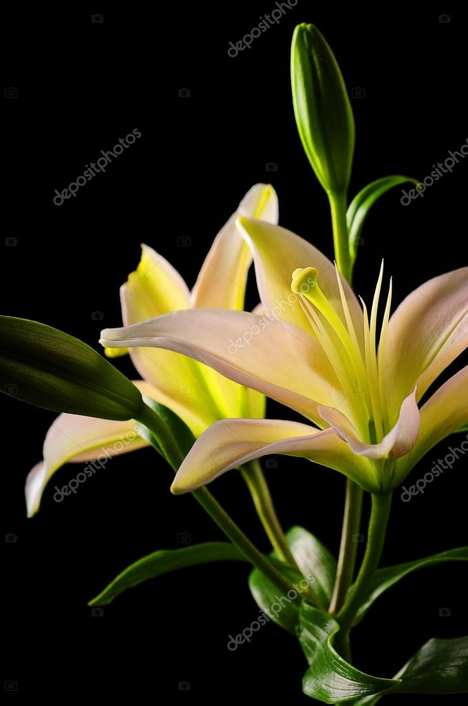 White stargazer lily flower stock photo ftlaudgirl 19718563 white stargazer lily flower stock photo mightylinksfo