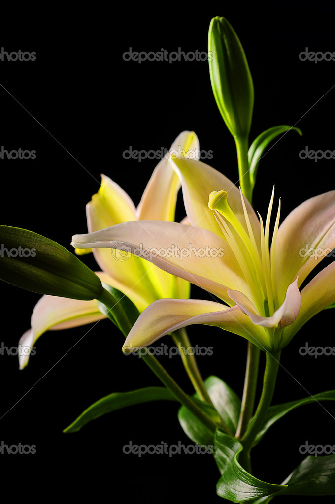 White stargazer lily flower stock photo ftlaudgirl 19723723 white stargazer lily flower stock photo mightylinksfo