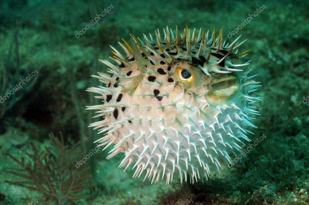 Áˆ Puffer Fish Stock Pictures Royalty Free Pufferfish Pictures Download On Depositphotos
