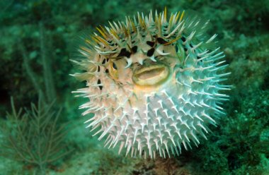 Puffed up blowfish swimming underwater in the ocean