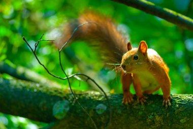 mischievous red squirrel on a tree branch