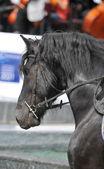 detail hlavy koně s detaily na oko. využita, kůň je vést - zavřít podrobnosti. kůň hřebec je na koni. černý kůň v pohybu
