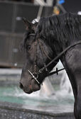 Closeup of a horse head with detail on the eye. Harnessed horse being lead - close up details. A stallion horse being riding. Black horse in motion