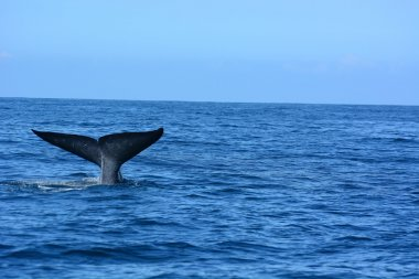 Big blue whales in deep ocean