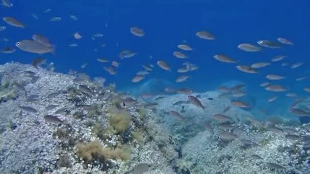 a halak Shoal