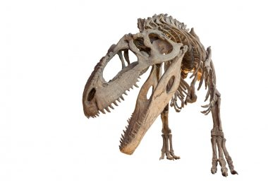 Giganotosaurus skeleton isolated