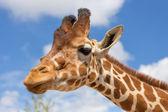 zblízka střílel žirafí hlavy