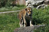 vad tigris