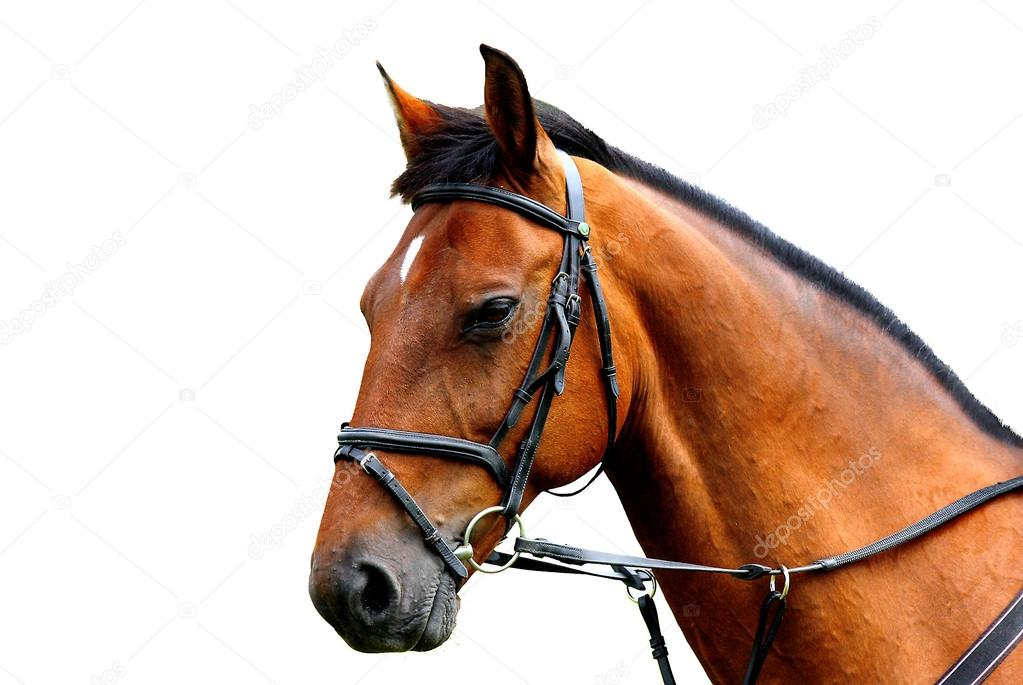 Beautiful brown horse, english thoroughbred isolated on the white background