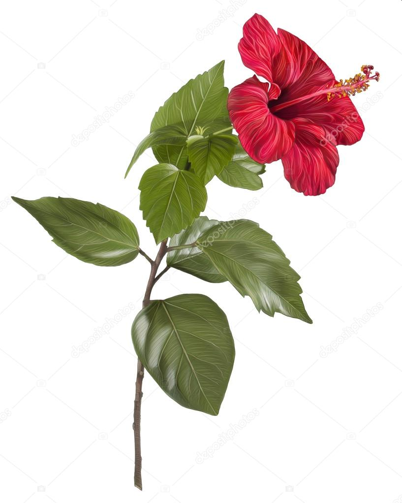 Painting Of Hibiscus Flower On White Background Stock Photo