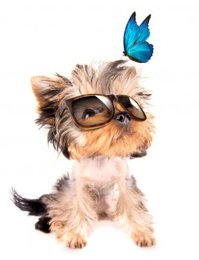 Dog with shades and blue butterfly