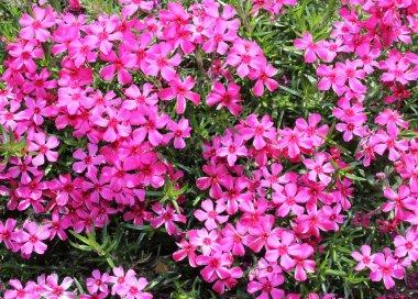moss phlox flowers - closeup view