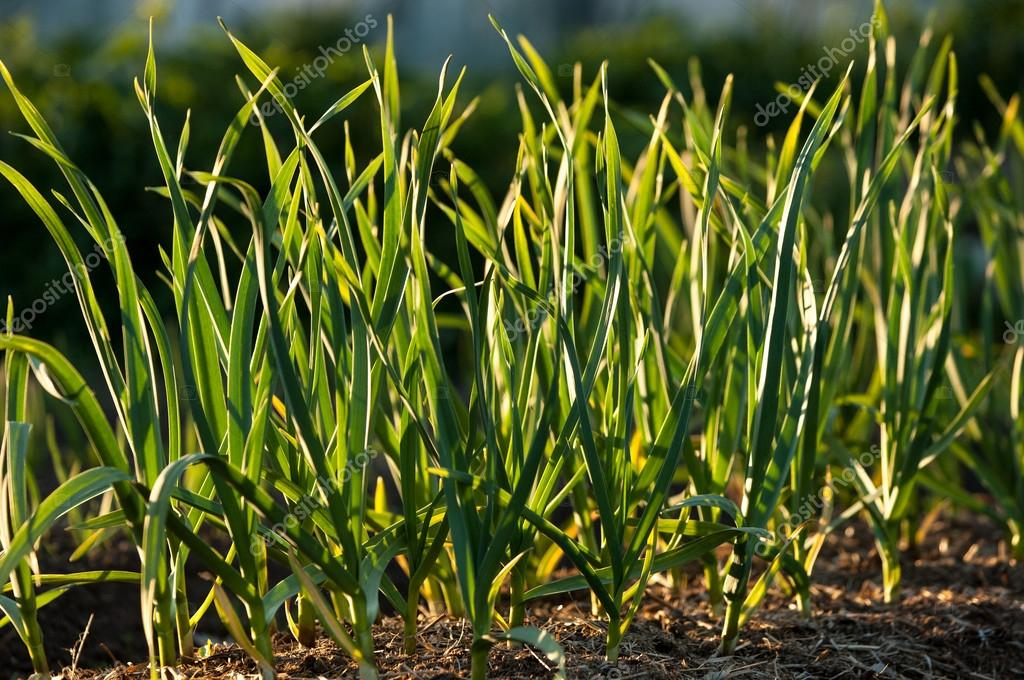 Garlic growing in ground