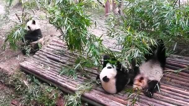 Giant panda bear at zoo. Chengdu. Sichuan. China.